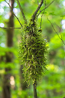 Sometimes also called icicle moss, cat-tail moss is a very common tree moss found all over the Pacific Northwest on the western side of the Cascade Mountains. In fact, the Pacific Northwest's rainy, wet forests would look very different without it!