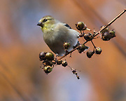 Image of a goldfinch.