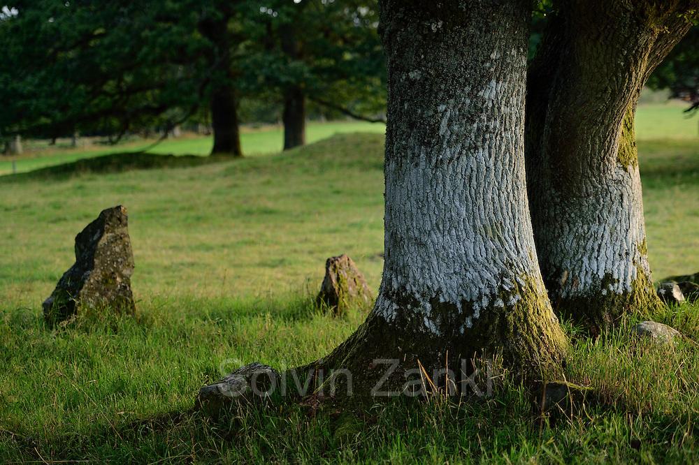 The nature reserve Tunhems Ekhagar is located at the foot of Hunneberg, and consists of a number of ancient oak trees. Tunhems Ekhagar, Schweden   Die Eichen auf den Viehweiden von Tunhem (Schweden) sind weltweit bekannt. Sie beherbergen vom Aussterben bedrohte Tier- und Flechten-Arten. Schon Carl von Linné besuchte 1746 das Gebiet und bezeichnete die Region als Paradies auf Erden.
