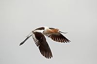 An American Avocet travels from one marsh pond to another.