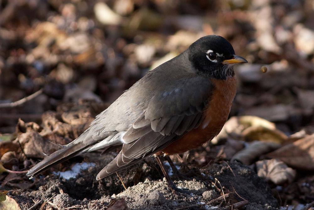 An American Robin near Lake Nokomis