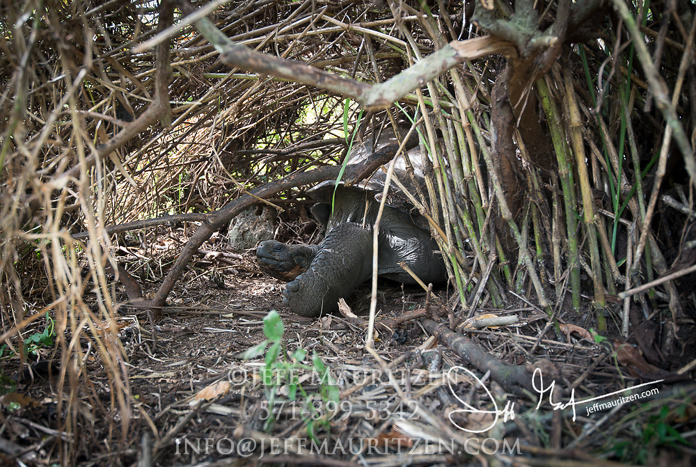 A Galapagos Giant tortoise rests in the shade  provided by a bush in the Santa Cruz highlands.