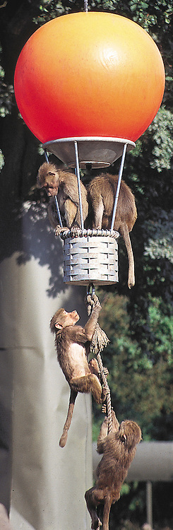 Baboons in Knuthenborg