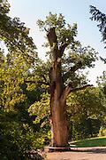 alte Eiche, Schlosspark Belvedere, Weimar, Thüringen, Deutschland | old oak, palace park Belvedere, Weimar, Thuringia, Germany