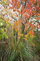Cortaderia richardii Brown's strain