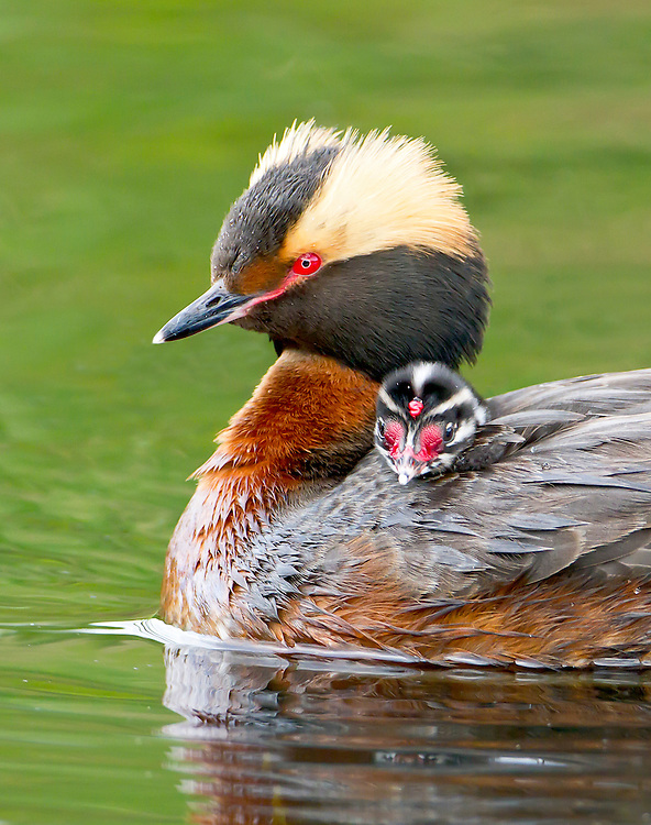 Alaska. Horned Grebe (Podiceps auritus) with young, Anchorage Coastal Refuge.
