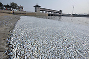 TIANJIN, CHINA - AUGUST 20: (CHINA OUT) <br /> <br /> Mass Dead Fish Appear <br /> <br /> Dead fish float along the shore of Haihe River Dam on August 20, 2015 in Tianjin, China. According to the Tianjin Environmental Protection Bureau on Thursday, experts have collected samples for further investigation. <br /> ©Exclusivepix Media