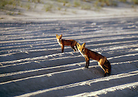The Red Fox, Vulpes vulpes, has the widest range of any terrestrial carnivore. It is native to Canada, Alaska, almost all of the contiguous United States, Europe, North Africa and almost all of Asia, including Japan.
