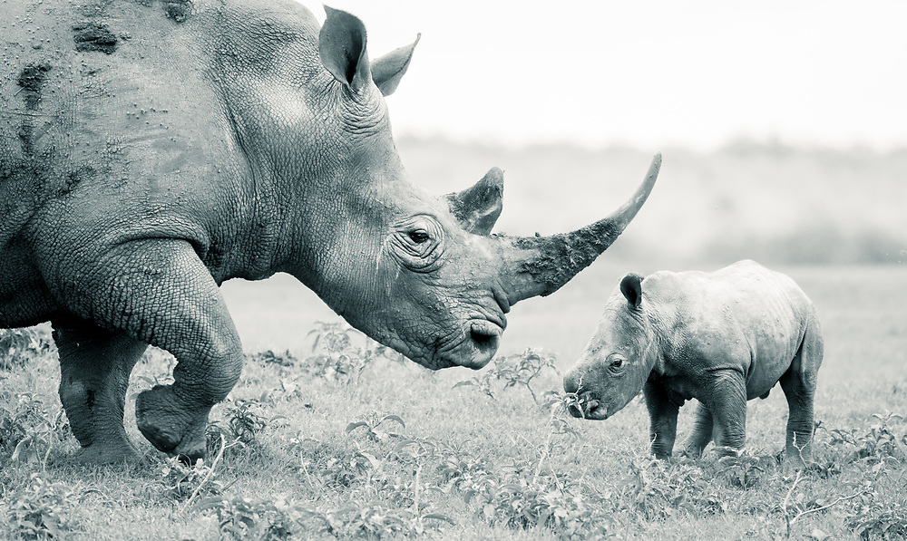 A mother and calf southern white rhino