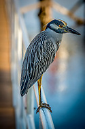 The yellow-crowned night heron, is one of two species of night herons found in the Americas, the other one being the black-crowned night heron. It is known as the Bihoreau Violacé in French and the Pedrete Corona Clara in Spanish