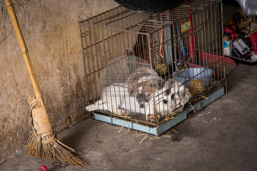Caged puppies at the Bird & Insect Market in Shanghai, China