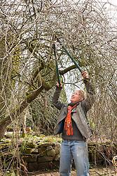 Carol Klein pruning old wood out of Pyrus salicifolia 'Pendula' - weeping pear