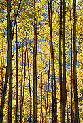 Aspen trees in autumn color<br /> Banff National Park<br /> Alberta<br /> Canada