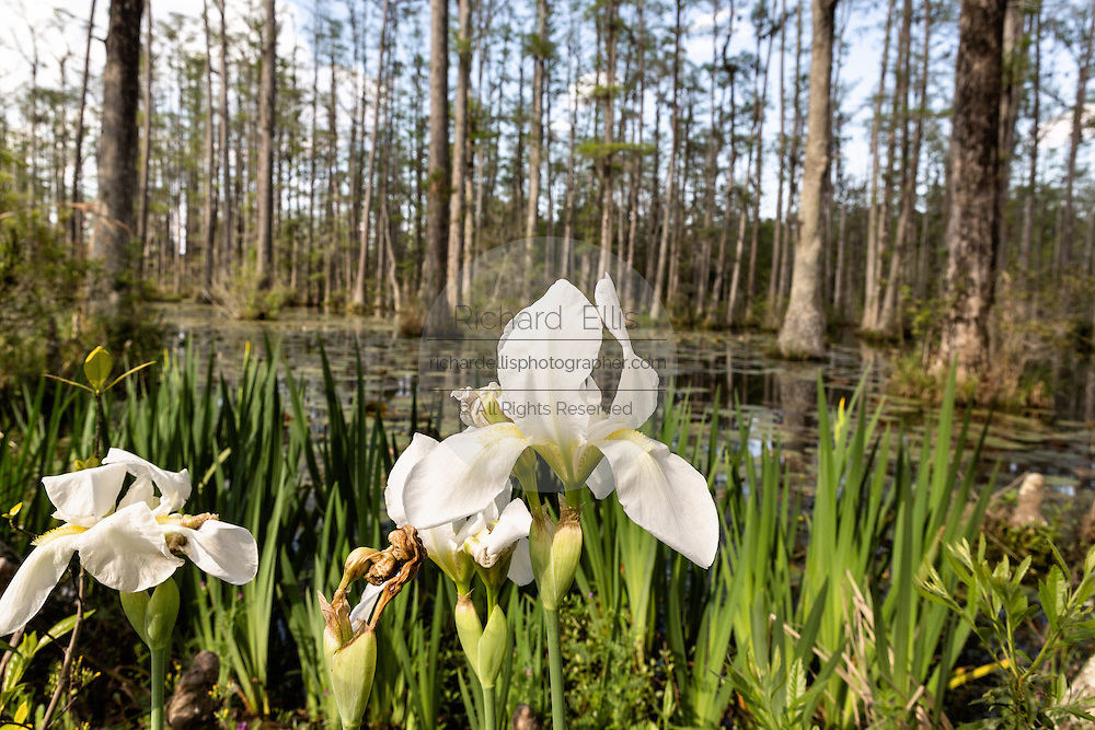 Native Iris blooming along the blackwater bald cypress and tupelo swamp during spring at Cypress Gardens April 9, 2014 in Moncks Corner, South Carolina.