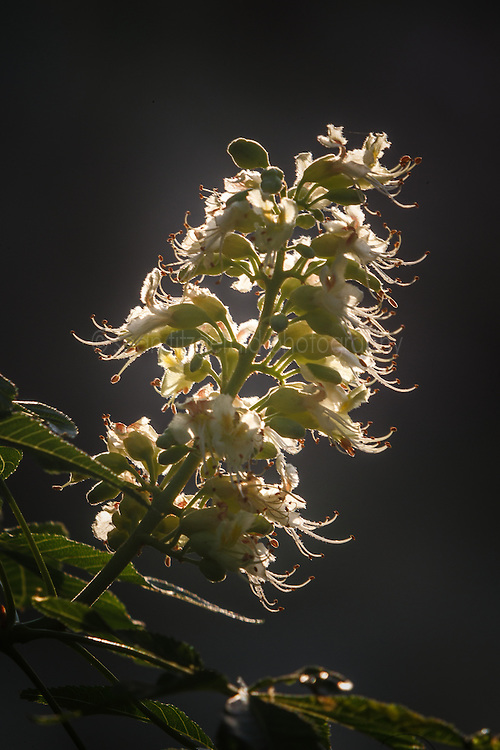 Backlit Texas Buckeye Tree (Aesculus glabra var. arguta) in flower, Texas Buckeye Trail, Great Trinity Forest, Dallas, Texas, USA.