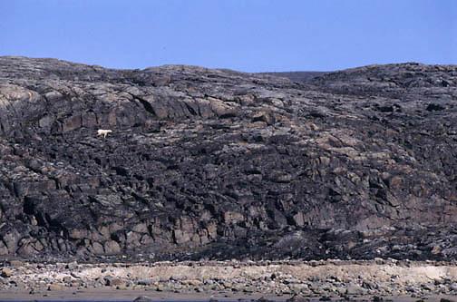 "Polar Bear, (Ursus maritimus) Polar Bear on the shore of Wager Bay, Northwest Territories,  (""""""""Inuit name Nunavut""""""""), Canada."