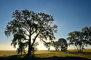 Cottonwood (Populus deltoides) tree at sunrise<br /> Grande Pointe<br /> Manitoba<br /> Canada