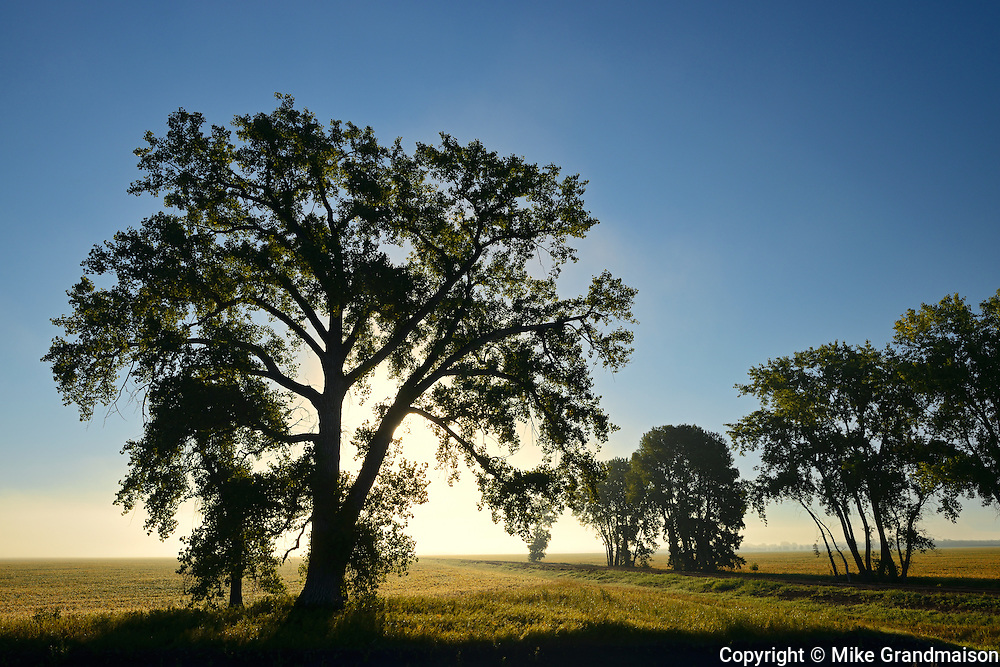 Cottonwood (Populus deltoides) tree at sunrise<br /> Grande Pointe<br /> Manitoba<br /> Canada