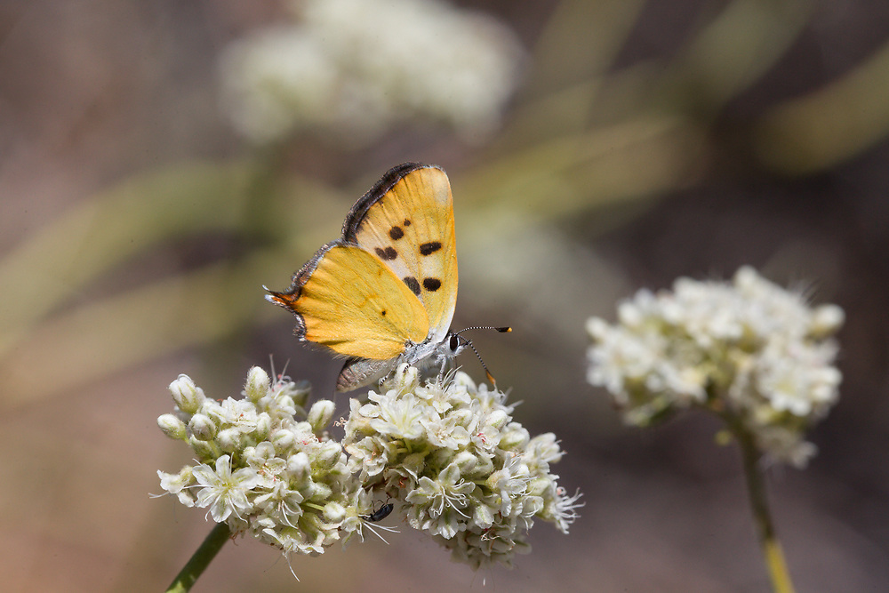 Lycaena hermes (Hermes Copper) ♀ at Cuyamaca Mountains, San Diego Co, CA, USA, on California buckwheat 08-Jun-14