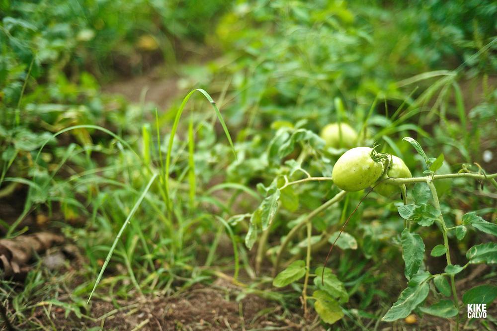 Green tomatoes at the Training Farm of Penonomé.