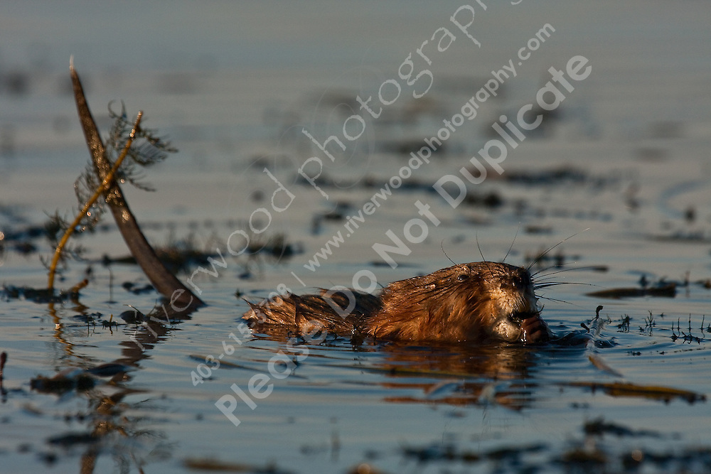 I was quite surprised to see the size of the teeth in this little Muskrat.  They are shockingly large!..©2009, Sean Phillips.http://www.Sean-Phillips.com