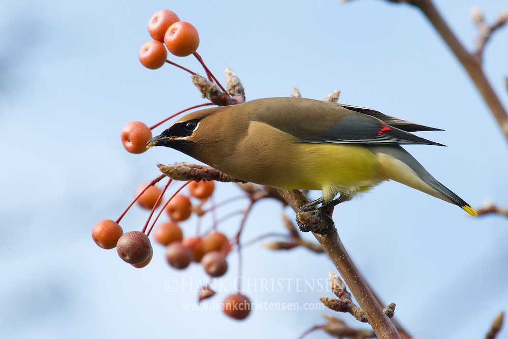 A cedar waxwing perches on a tree eating berries