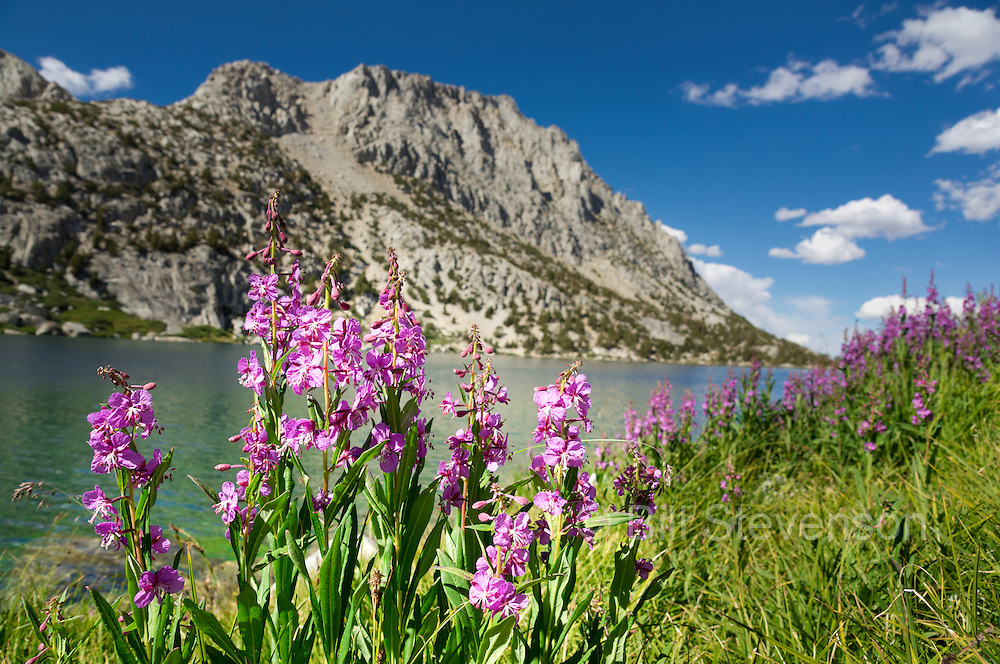 A photo of purple flowers beside an alpine lake in the high Sierra. This is Ruby Lake in Rock Creek Canyon. Ruby Lake is only three miles from the car and makes for a great day hike and a chilly alpine swim.