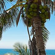 Coconut Palm, Cocos nucifera L., Taidong, Taiwan