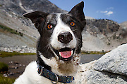 A black and white dog with brown eyes in the Sierra Nevada mountains.