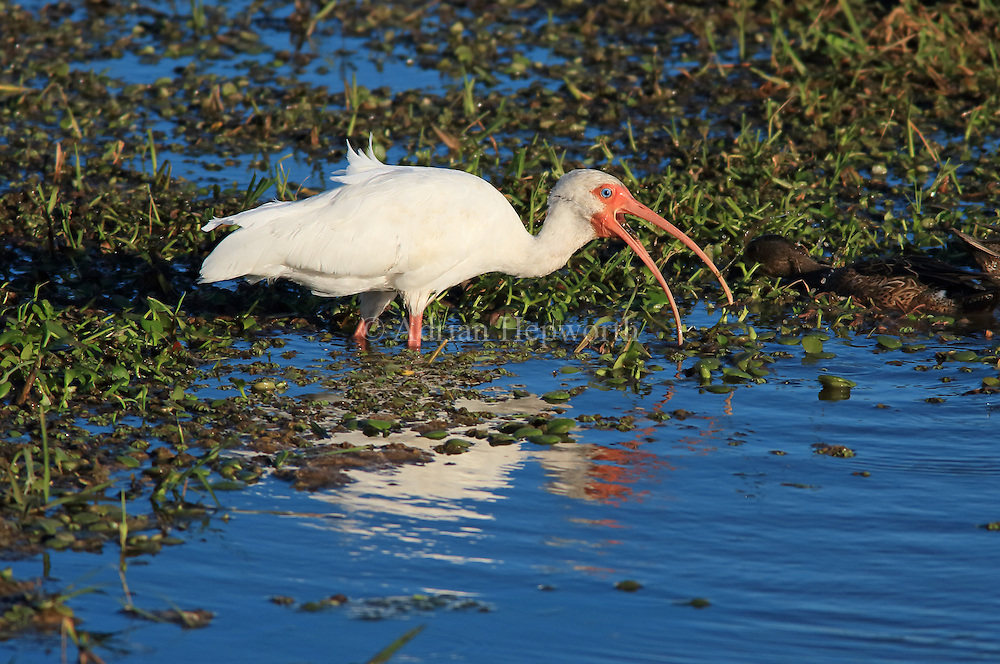 White ibis (Eudocimus albus) feeding in Palo Verde National Park, Guanacaste, Costa Rica. February 2013. We accept payments via PayPal.