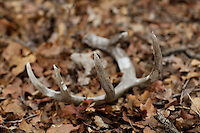 SHED WHITETAIL DEER ANTLER