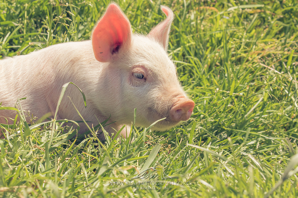 Two-week old baby pigs on a rural farm in South Island, New Zealand