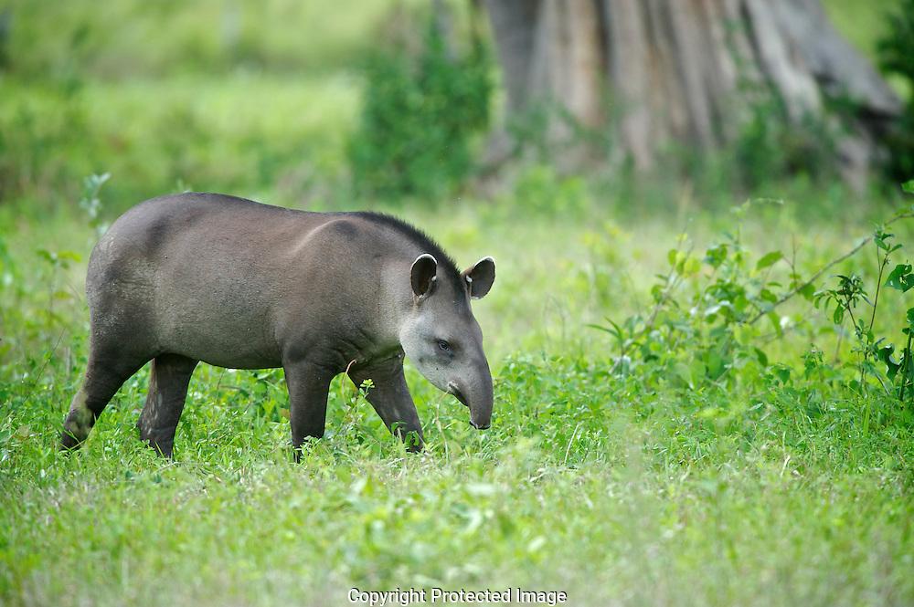 Brazilian Tapir. (Tapirus terrestris), Araras Eco Lodge, Matto Grosso, Brazil, Isobel Springett