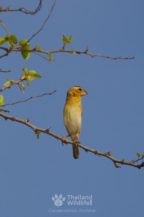 Female Asian Golden Weaver, Ploceus hypoxanthus hymenaicus