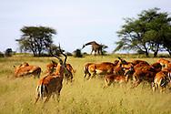Imapalas and giraffe, Serengeti National Park, Tanzania