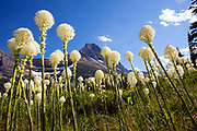 MT00129-00...MONTANA - Beargrass (Xerophyllum tenax) along the Swiftcurrent Pass Trail in Glacier National Park.