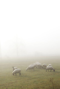 sheep in field with fog