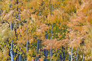 Aspen trees and leaves blowing in the wind, Bishop Creek Canyon, Eastern Sierra, California