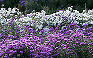 White and purple asters (Michelmas daisies) in the Waterperry Garden, Wheatley, Oxfordshire, UK