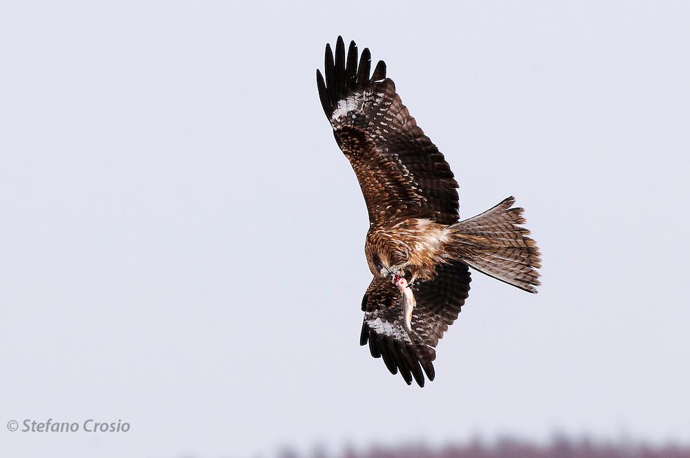 JAPAN, Eastern Hokkaido.Black-eared kite (Milvus migrans lineatus) eating fish in flight