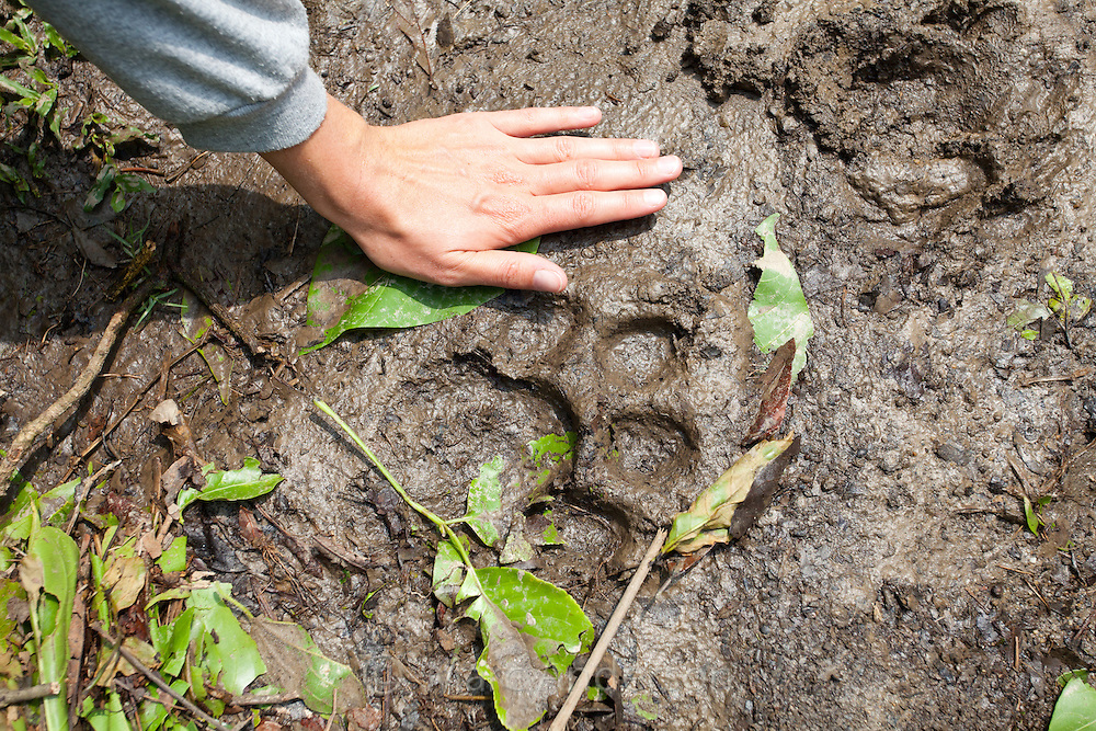 Woman's hand next to fresh tiger tracks in Chitwan National Park, Nepal