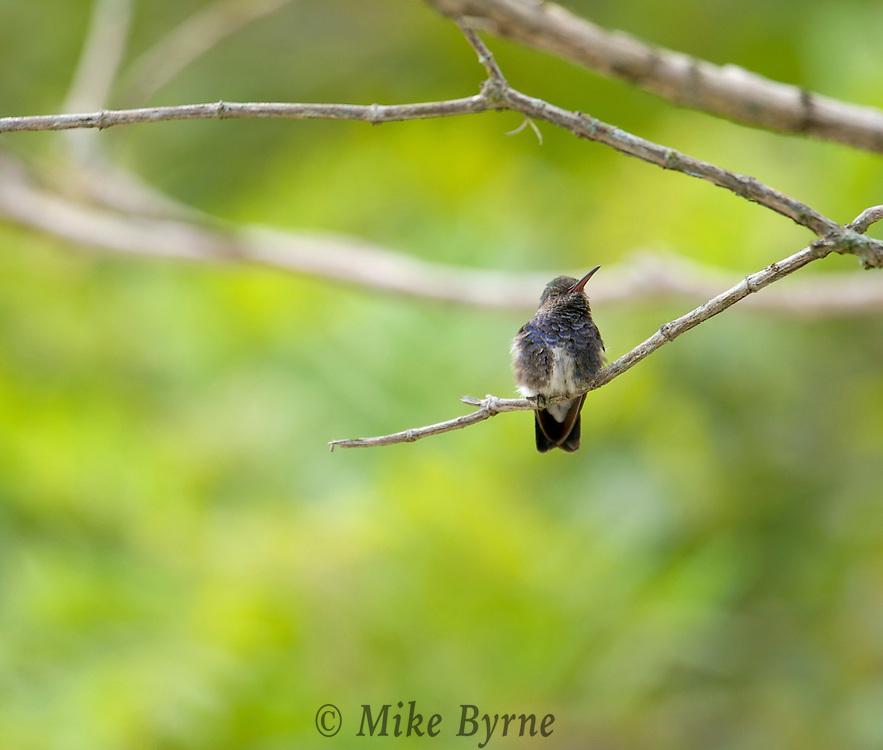 Glittering-Throated Emerald (Amazilia fimbriata) - Female., Itapira, Mangueiras Ranch, Bairro da Ponte Nova, Sao Paulo, Brazil, (Photographer; Isobel Springett),