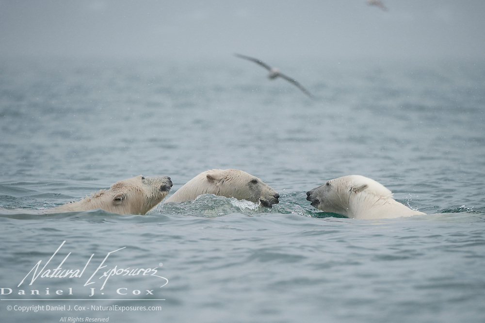 A mother polar bear and her cubs playing in the water around Svalbard, Norway.