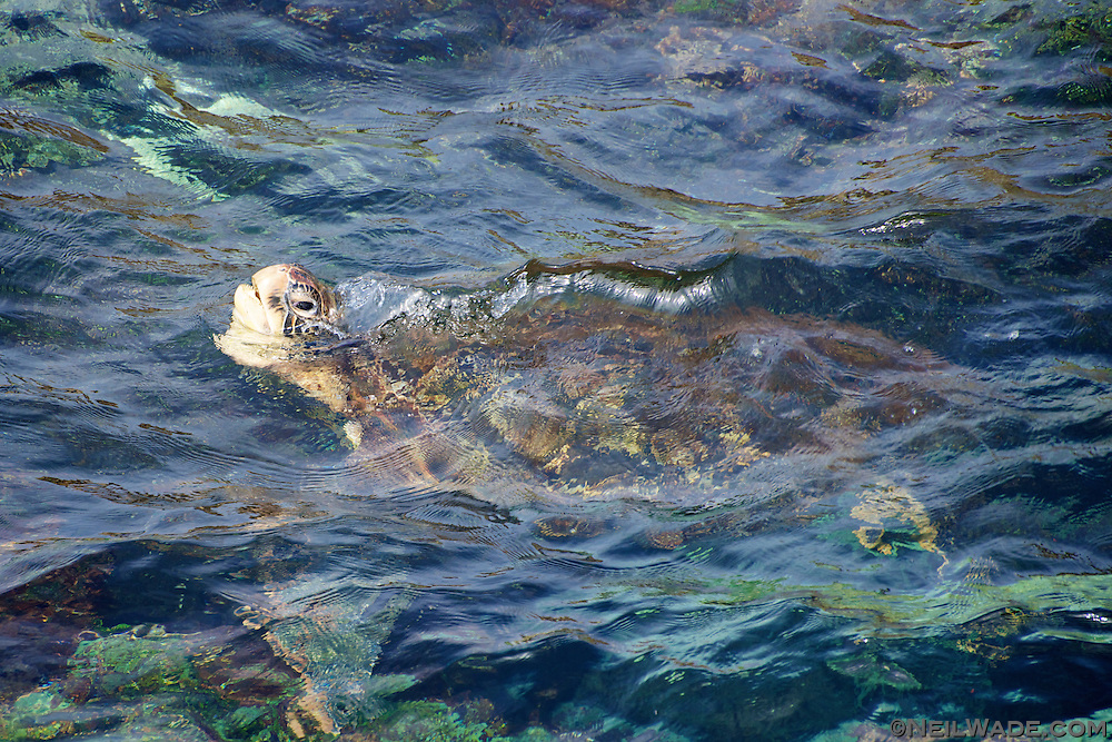 A green seat turtle swims in the water off the coast of Taiwan.