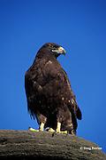 Galapagos hawk, Buteo galapagoensis, adult, James or Santiago Island, Galapagos Islands, Ecuador, ( Eastern Pacific )