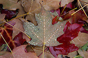 Rain accumulates on a maple leaf in Longmont on Wednesday.<br /> Matthew Jonas / Staff Photographer Oct. 21, 2015