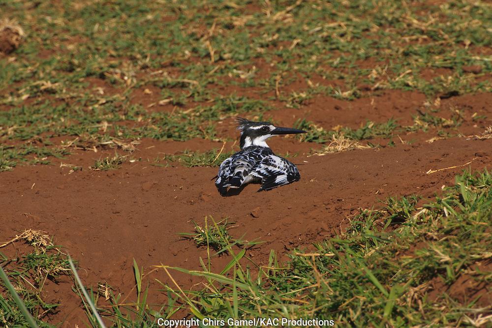 Pied Kingfisher (Ceryle rudis) lying in the dirt, Lake Manyara National Park, Tanzania, Africa; burrow nester; dry season