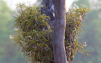 Beautiful white orchid growing on a tree, Bardiya National Park, Nepal