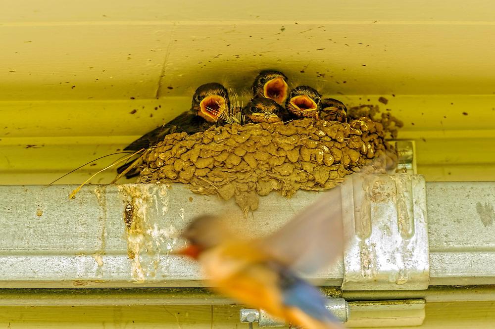 Feeding thr hungry young barn swallows
