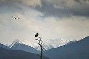 A juvenile bald eagle sits on a snag tree as a storm blows through the Olympic Mountains behind, and a gull passes. The eagles will grab a gull out of mid-air sometimes for a snack. This one got lucky yesterday